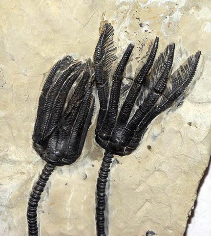 Paleozoic crinoid