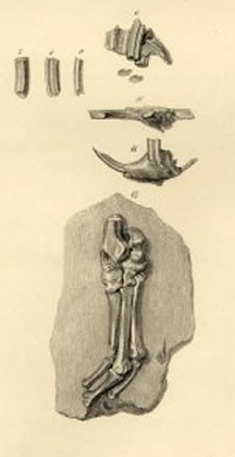 ctenomys fossils