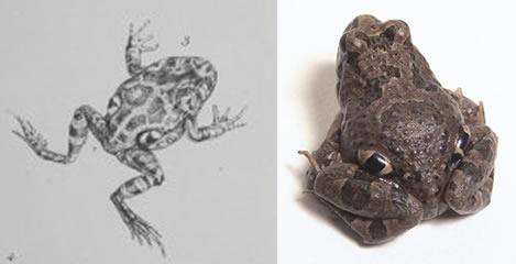 Four-eyed frog