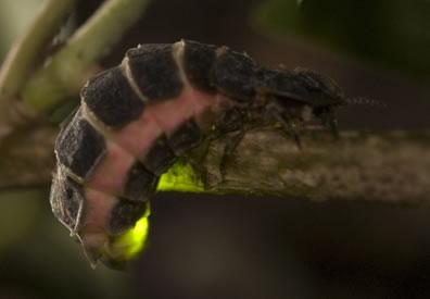 glow worm species