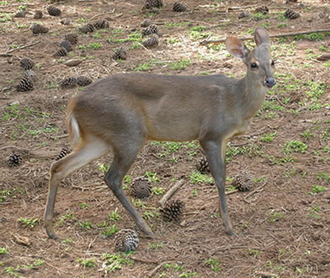 Grey Brocket