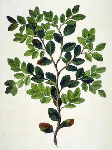 Magellan's beech
