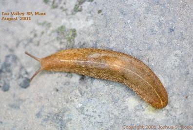 Vaginulus sp.