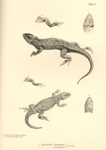 Proctotretus pectinatus