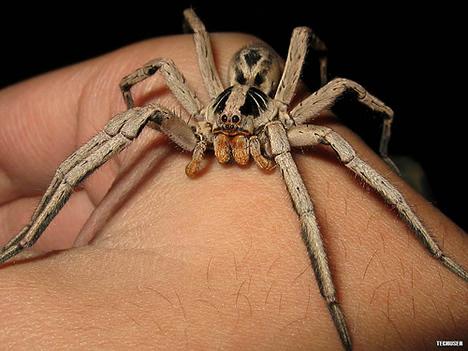 wolf spider from Brazil
