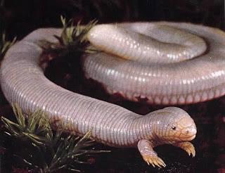 Baja Worm Lizard