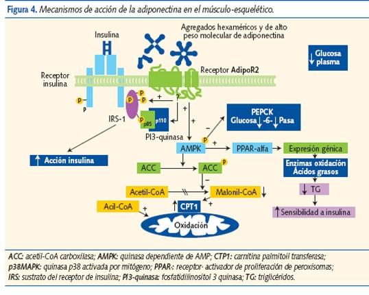 Adiponectina | Bioquímica da Obesidade