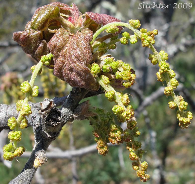 Oregon White Oak Garry Oak Quercus Garryana Var Garryana