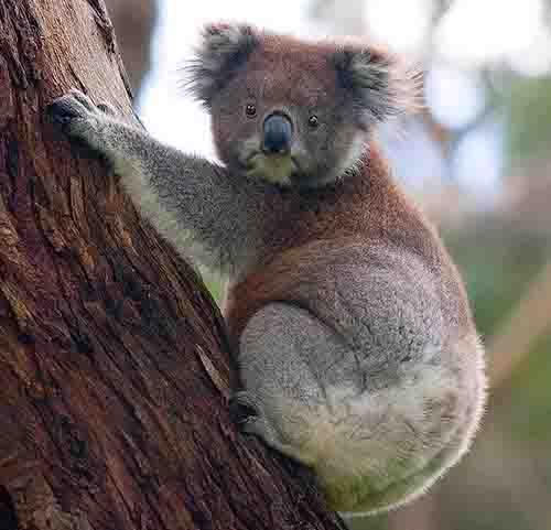 Koala Amazing Facts Habitat Diet And More