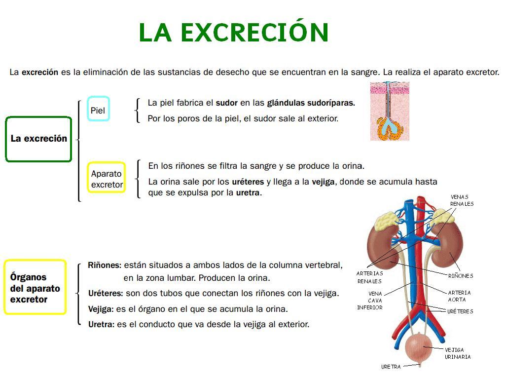 Worksheet For Excretory System
