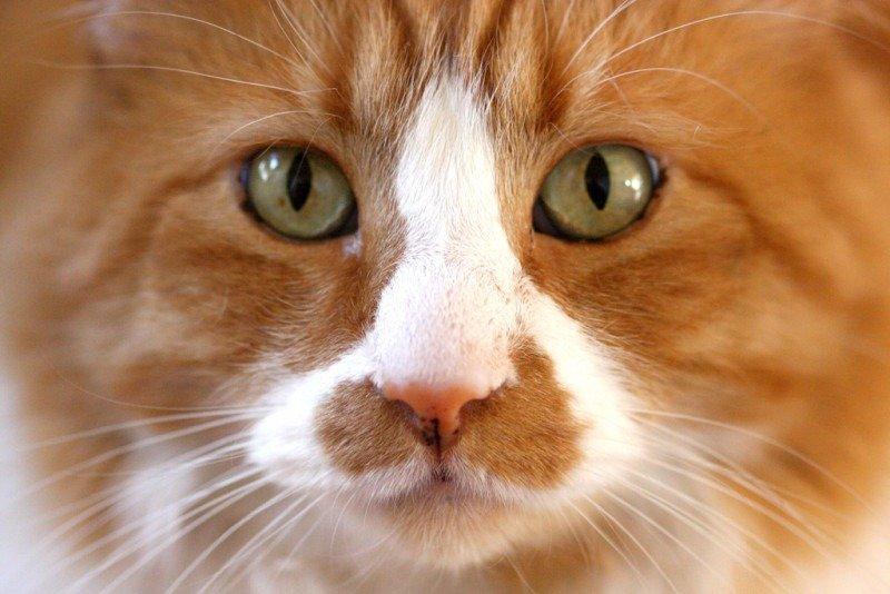 Cat: ginger macro.