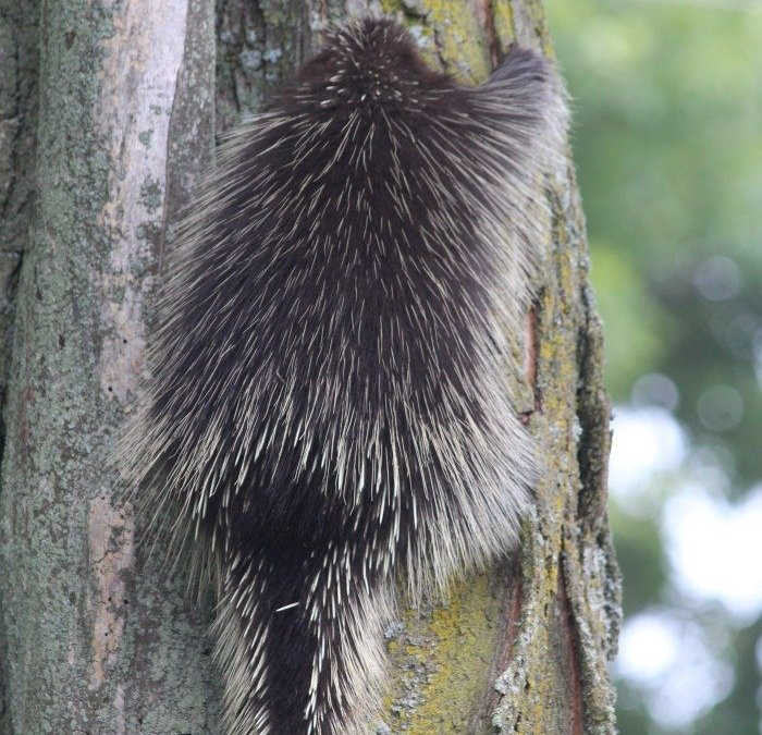 Porcupine Sighting