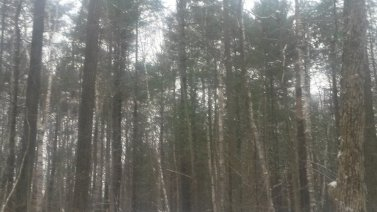 Hardwood forest in gently falling snow, Copyright 2014, Teresa Coppens