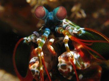 The Mantis Shrimp: Deadly Beauty of the Ocean-http://sciencealcove.com/2015/01/weird-creatures-mantis-shrimp/