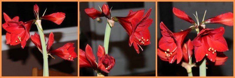 Amaryllis Beauty-http://sciencealcove.com/2015/01/amaryllis-beauty/