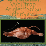 Why is the Awesome Wolftrap Anglerfish so Terrifying?