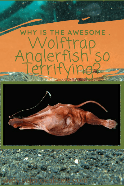 Wolftrap Anglerfish are deep-sea creatures from your worst nightmare with razor-sharp teeth, and a bioluminscent lure attracting prey to sure doom. #wolftrapangler #fish #deepseafish #science #biology