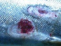 http://upload.wikimedia.org/wikipedia/commons/b/b7/Sea_lamprey_wounds_%28Garden_R%29.JPG