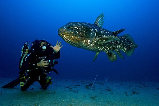 Living Fossil:  Coelacanth