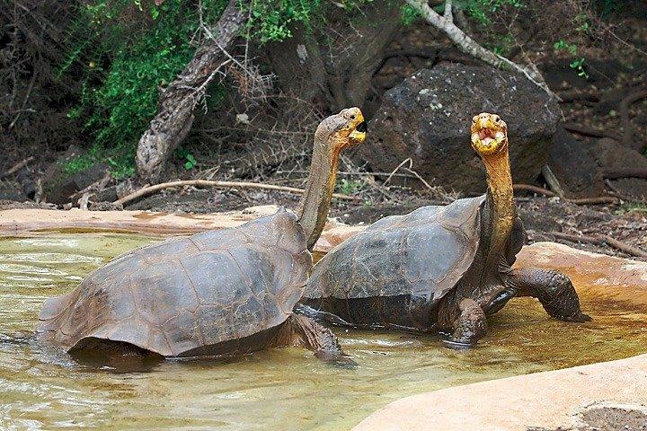 Galapagos tortoise - endangered species news