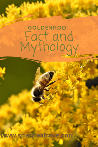 Goldenrod, an aster relative, is blamed for seasonal hay fever. An insect pollinated plant, beautiful goldenrod instead has many healing properties. #goldenrod #plantscience #weed #Canadianplant