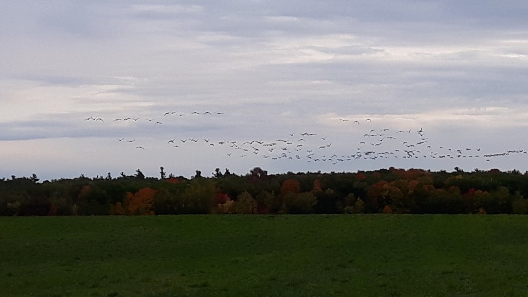 Migration of Canadian Geese
