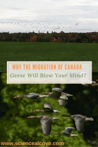 Why the Migration of Canada Geese Will Blow Your Mind-https://sciencealcove.com/2016/10/migration-of-canada-geese/