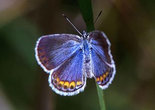 Butterfly facts: Karner Blue