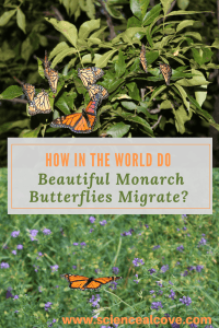 "How in the World do Beautiful Monarch Butterflies Migrate? - ""The fact that the delicate but beautiful monarch butterflies migrate is a marvel of nature. From North America to Mexico, their migration is a marvel considering their small and delicate nature. Their populations are declining but there are ways you can help.  *There are affiliate links within this post.  If you click, I may make some coffee money at no cost to you. #butterflyscience #science #migration #insectpollinators #affiliatelinks #monarchbutterflies"""