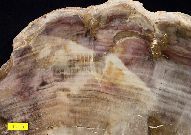 Polished petrified wood showing annual rings..