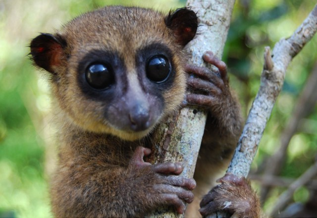 groves dwarf lemur body 1