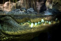 Alligator by Alexander Montuschi. Flickr. (CC BY-NC 2.0)