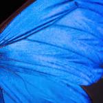 Deep Look - Blue Morpho