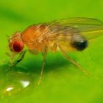 Drosophila the Super Fly