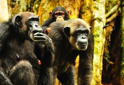 Chimp Intelligence 'Runs In Families,' Environment Less Important