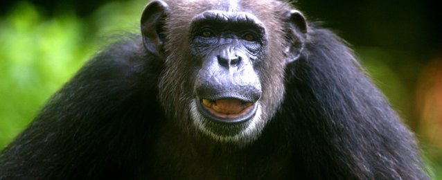chimpanzee 'super strength' and what it might mean in human muscle, Muscles