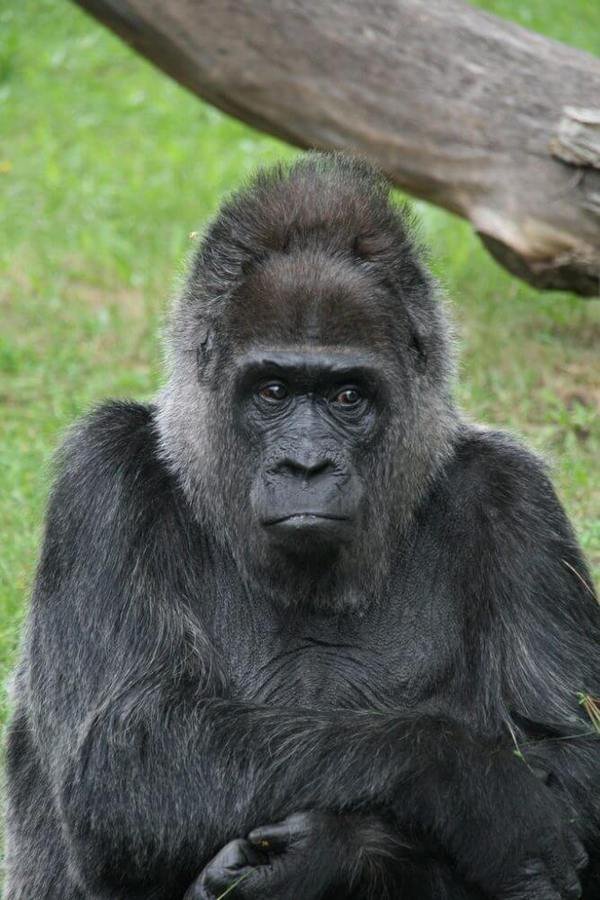 Apes may be closer to speaking than many scientists think