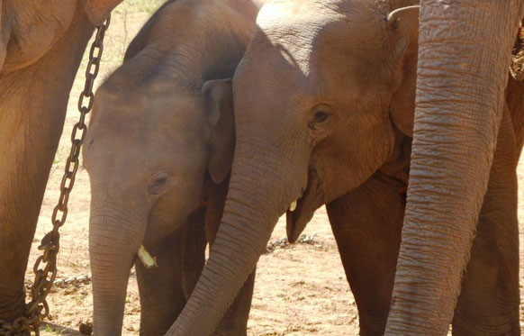 Elephants slink away from growling tiger; trumpet & growl before retreating from leopard