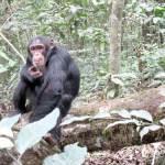 carlson-chimpanzeesLO