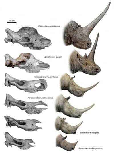 Long-horned rhino from China reveals origin of the unicorn