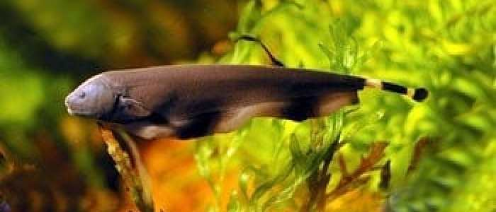 Electric fish may hold answers to better understanding of sensory abilities and movement