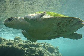Tagging aquatic animals can disrupt natural behavior