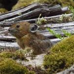 A roly-poly pika gathers much moss  High-fiber salad bar may help lagomorphs survive climate change