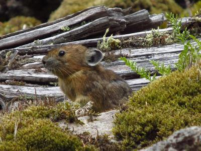 High-fiber salad bar may help  roly-poly pika survive climate change