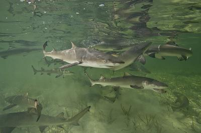 Like salmon and sea turtles, mother sharks 'home' to their birthplace to give birth