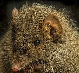 Newly discovered marsupial the victim of fatal attraction