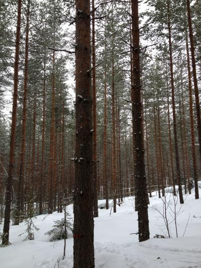 Pine forest smell helps keep planet cool