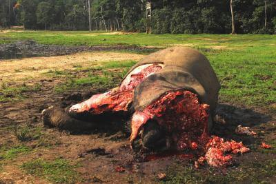 Continued decline of African forest elephants