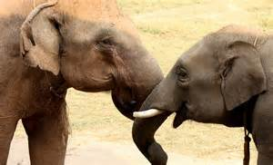Asian elephants comfort each other in times of distress