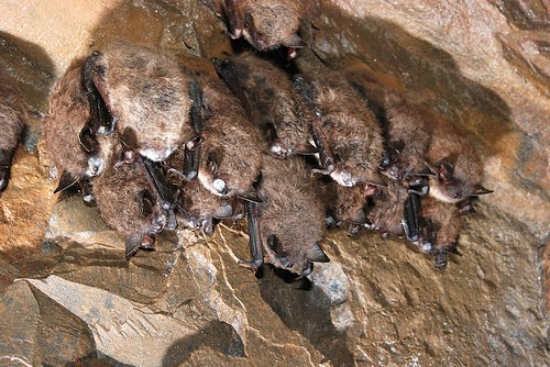 Research, Public Can Help Bats Survive White-Nose Syndrome